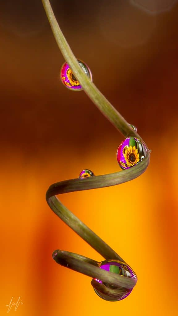 Flower Reflection Through Water Droplets